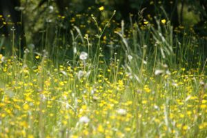 flowers in a meadow- allergies and dental health